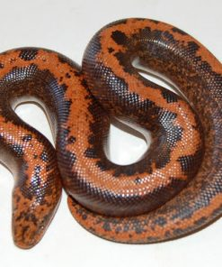 Buy Striped Kenyan Sand Boa