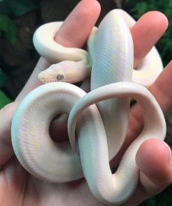 Buy Baby Blue Eyed Leucistic Colombian Rainbow Boa