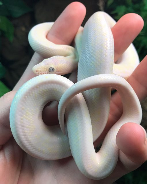 Buy Baby Blue Eyed Leucistic Colombian Rainbow Boa