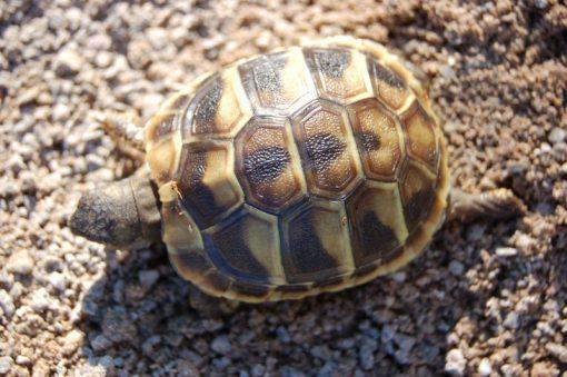Hermann Tortoise For Sale