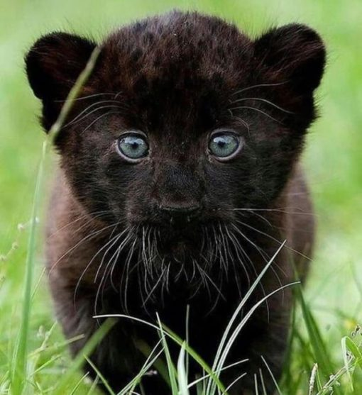 Black Panther Cubs For Sale