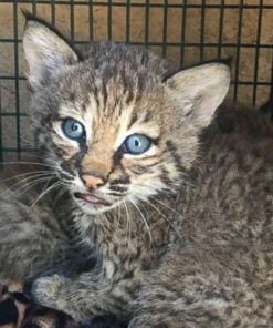 Bobcats kittens For Sale