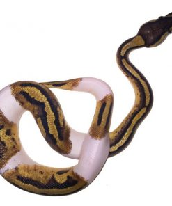 Baby Pied Ball Python for sale