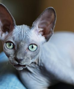 Sphynx Kitten For Sale