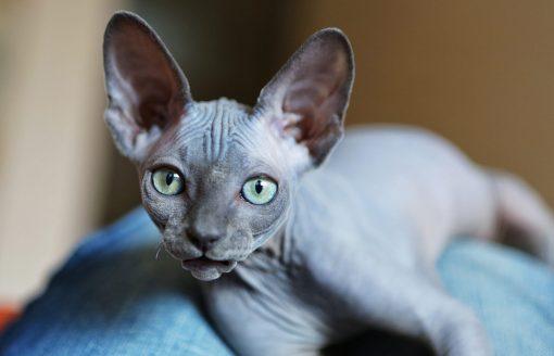Sphynx Kitten For Sale