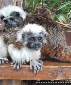 Buy Tamarin Monkeys