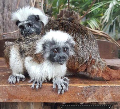 Buy Tamarin Monkeys