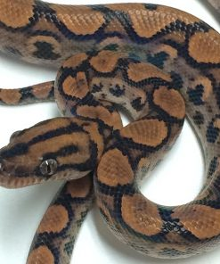 Baby Brazilian Rainbow Boa For Sale