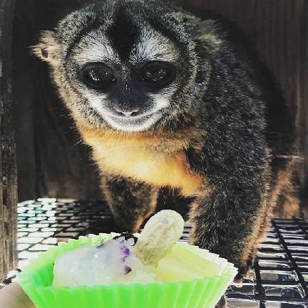 Owl Monkeys for sale