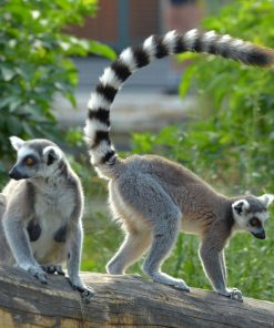 Buy Ring-tailed lemur Monkey