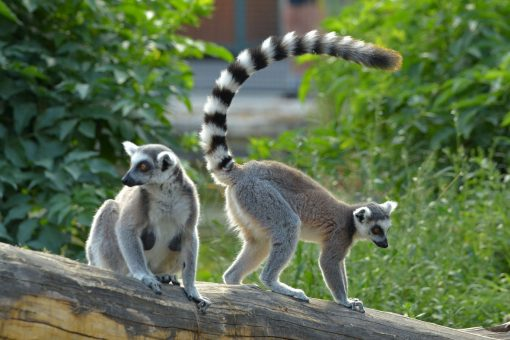Buy Ring-tailed lemur Monkey