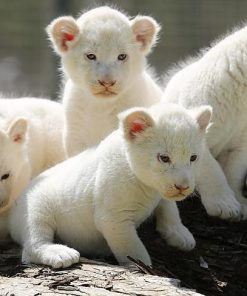 Buy White Lion Cubs