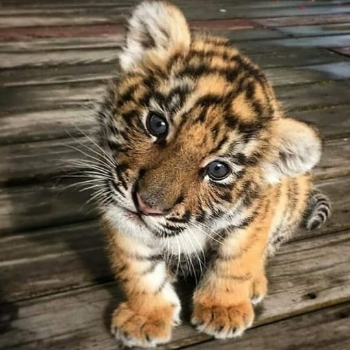 Tiger cubs for sale