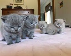 British Shorthair cat for sale