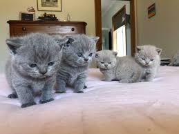 British Shorthair cat for sale