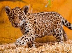 Jaguar Cubs for sale