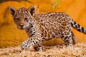 Jaguar Cubs for sale