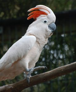 Moluccan cockatoo For Sale