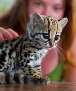 Ocelot Cubs for sale