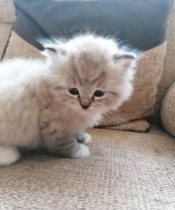 Ragamuffin cat for sale