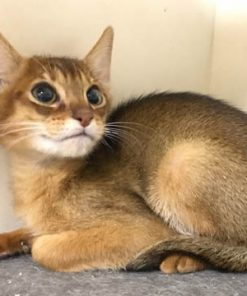 Chausie cat for sale