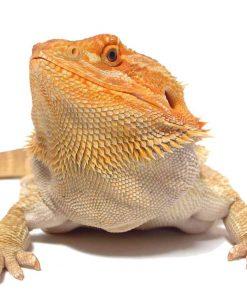 Buy Bearded Dragons