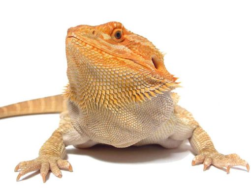 Buy Bearded Dragons