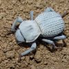 Desert Ironclad Beetle for sale