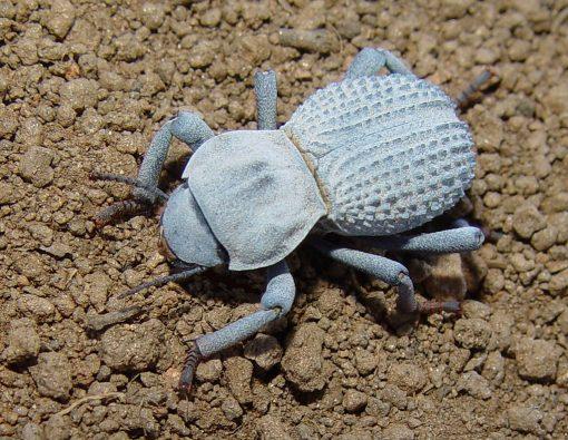 Desert Ironclad Beetle for sale
