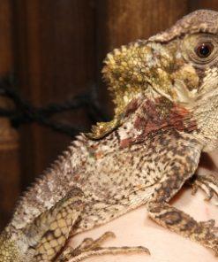 Buy helmeted iguana