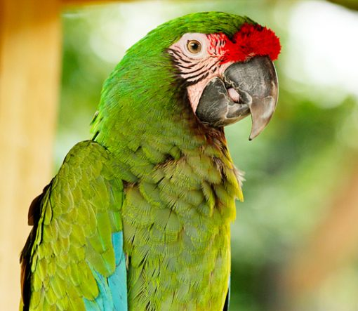 Military Macaw For Sale
