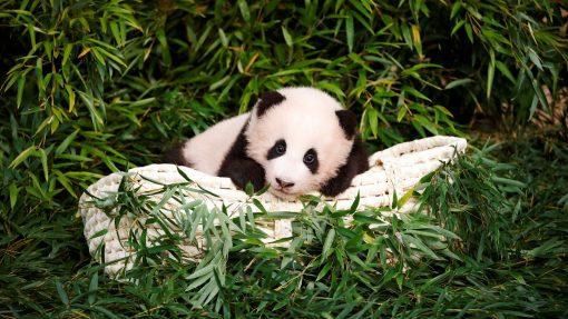 Buy panda