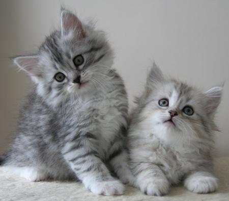 Siberian cat for sale