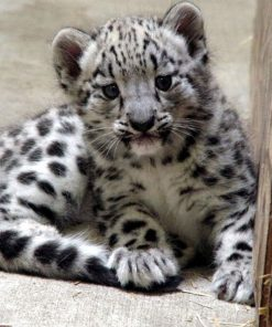 Snow Leopard Cubs for sale