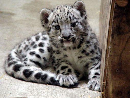 Snow Leopard Cubs for sale