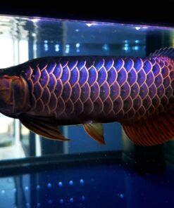 Malaysian Golden Blue base